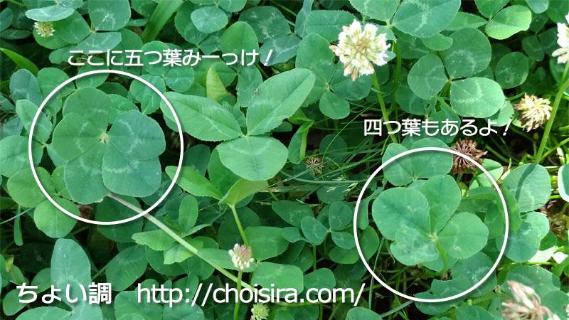 五つ葉のクローバーと四つ葉のクローバー